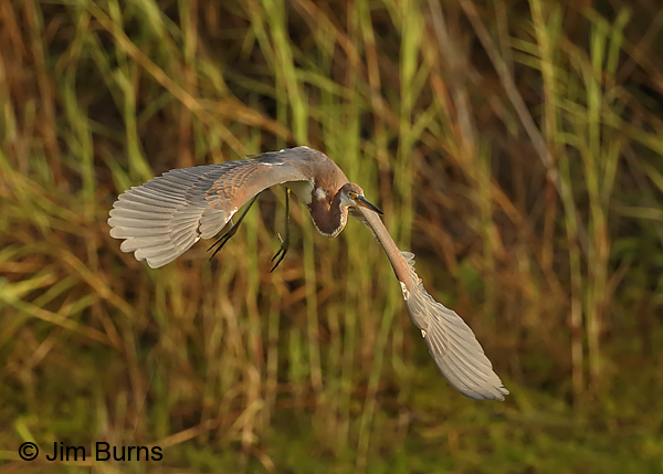 Tricolored Heron juvenile lift off sequence #2