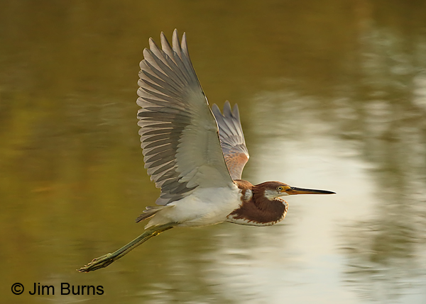 Tricolored Heron juvenile flight sequence #3