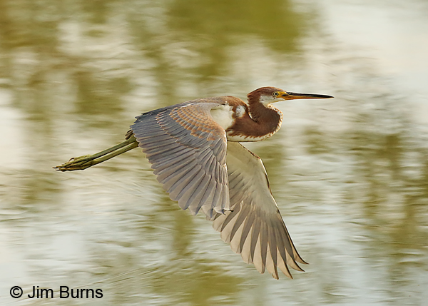 Tricolored Heron juvenile in flight #4