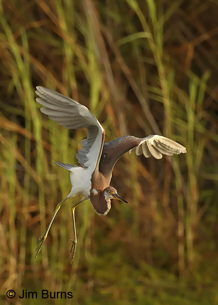 Tricolored Heron lift off sequence #3