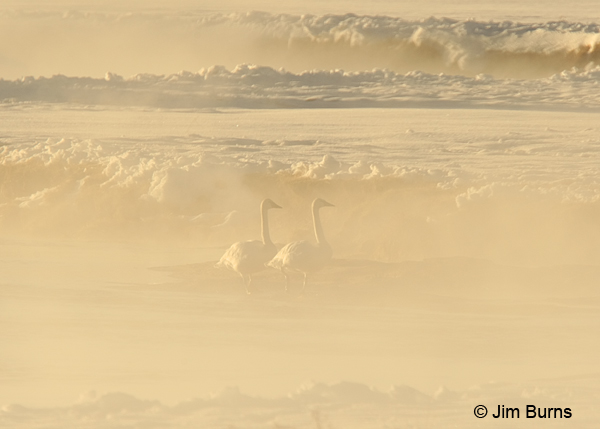 Trumpeter Swans in morning mist