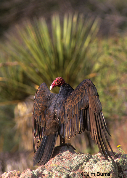 Turkey Vulture drying wings on rock
