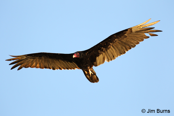 Turkey Vulture overhead