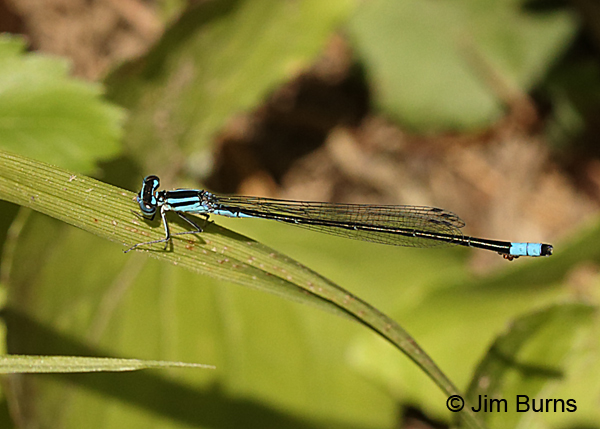Turquoise Bluet male with water mites, Augusta Co., VA, June 2017