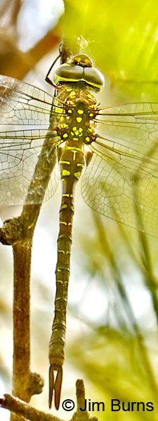 Turquoise-tipped Darner female top shot close-up, Pinal Co., AZ, July 2014