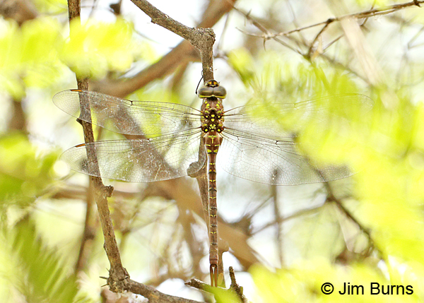 Turquoise-tipped Darner female dorsal view, Pinal Co., AZ, July 2014