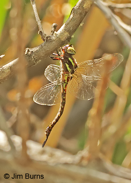 Turquoise-tipped Darner female, Pinal Co., AZ, July 2014