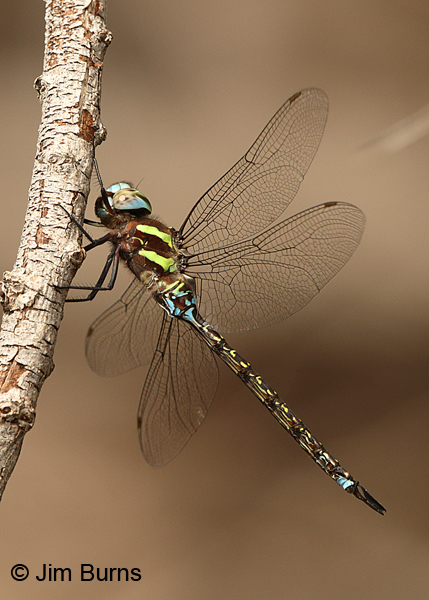 Turquoise-tipped Darner male, Pima Co., AZ, August 2014