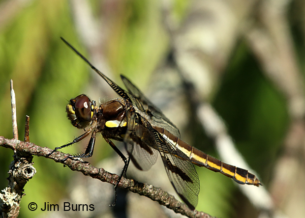 Twelve-spotted Skimmer female lateral view, Door Co., WI, July 2017
