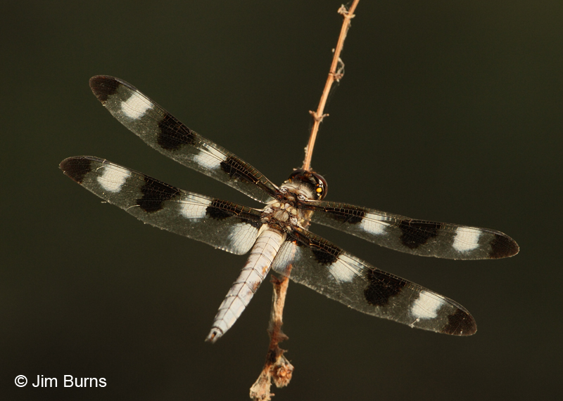 Twelve-spotted Skimmer male, Maricopa Co., AZ, August 2011