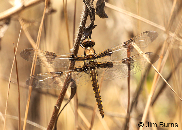 Twelve-spotted Skimmer teneral female, Pinal Co., AZ, May 2016