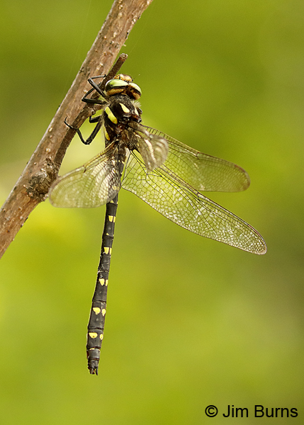 Twin-spotted Spiketail male dorsolateral view, Lake Co., MN, July 2018--9839