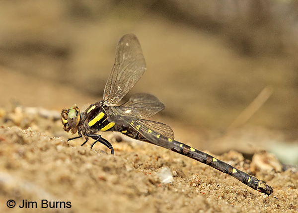 Twin-spotted Spiketail female, Eau Claire Co., WI, June 2014