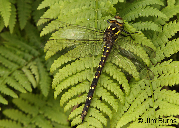 Twin-spotted Spiketail female on fern, Eau Claire Co., WI, June 2014