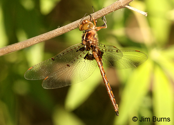 Umber Shadowdragon male dorsolateral view, Horry Co., SC, May 2014