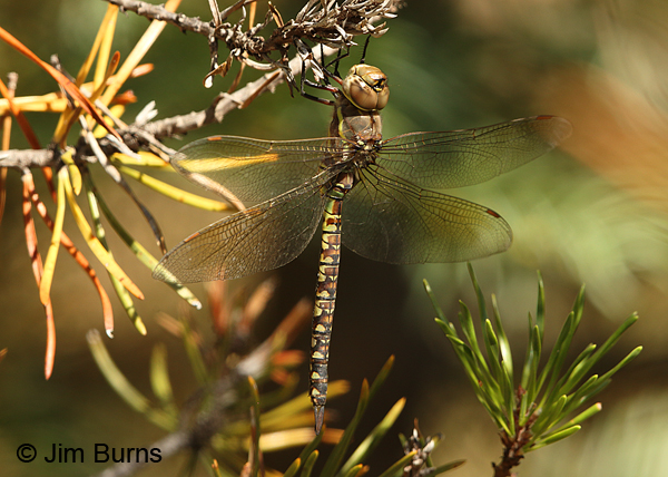 Variable Darner female striped form, Klamath Co., OR, August 2015