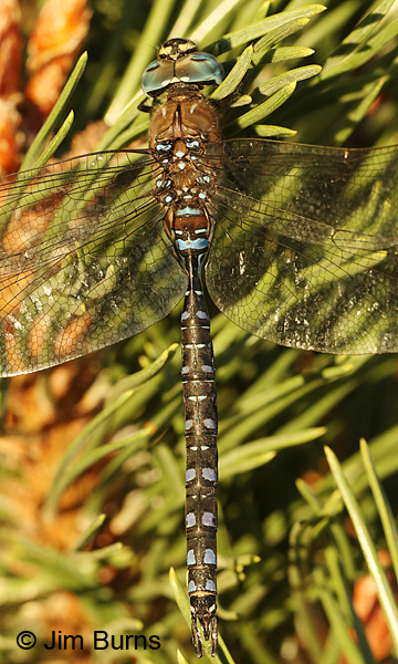Variable Darner male spotted form dorsal view, Deschutes Co., OR, August 2015