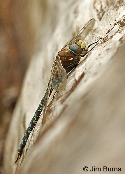 Variable Darner male spotted form, Anchorage Co., Alaska, August 2016