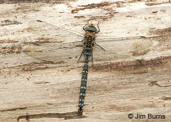 Variable Darner male spotted form dorsal view , Anchorage Co., Alaska, August 2016