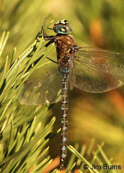 Variable Darner male spotted form, Deschutes Co., OR, August 2015