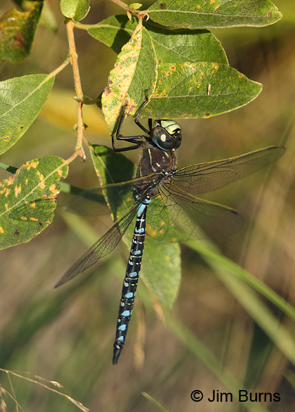 Variable Darner male striped form, Anchorage Co., AK, August 2016
