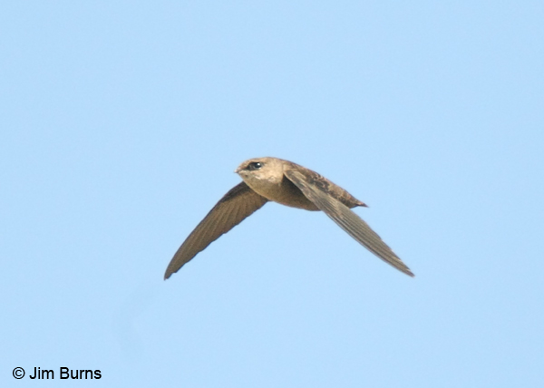 Vaux's Swift dorsal