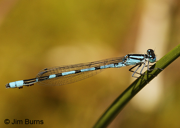 Vernal Bluet male with water mites, Essex Co., VT, July 2014