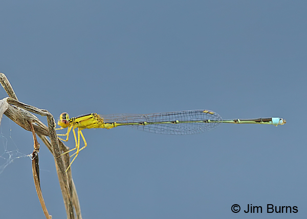 Vesper Bluet male #2, Santa Rosa Co., FL, March 2016