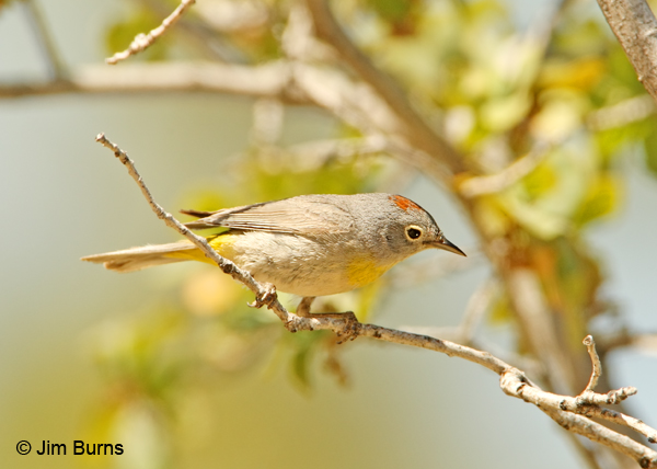 Virginia's Warbler male crown patch