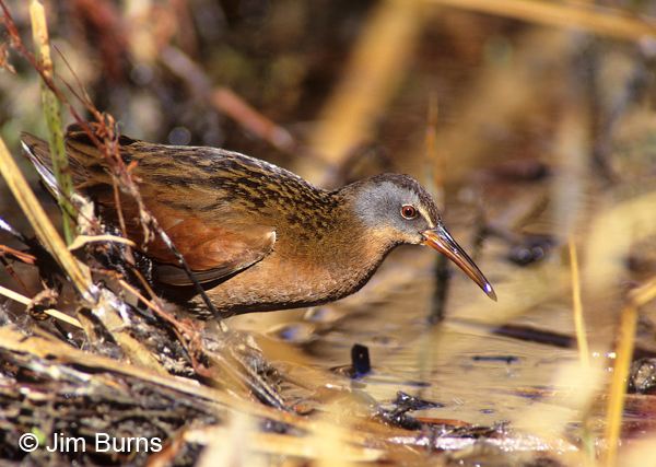 Virginia Rail emerging from the reeds