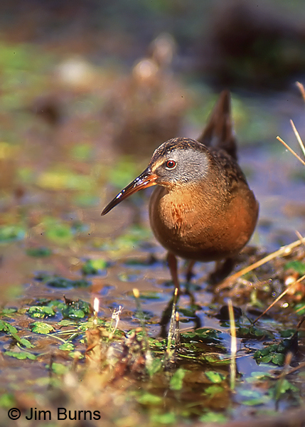 Virginia Rail exploring the marsh #2