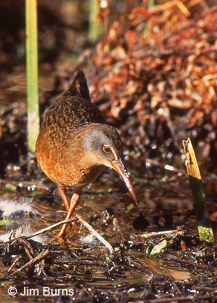 Virginia Rail exploring the marsh