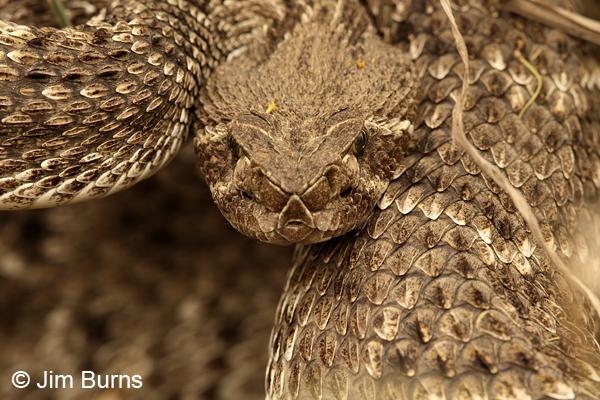 Western Diamond... Western Diamondback Rattlesnake Head