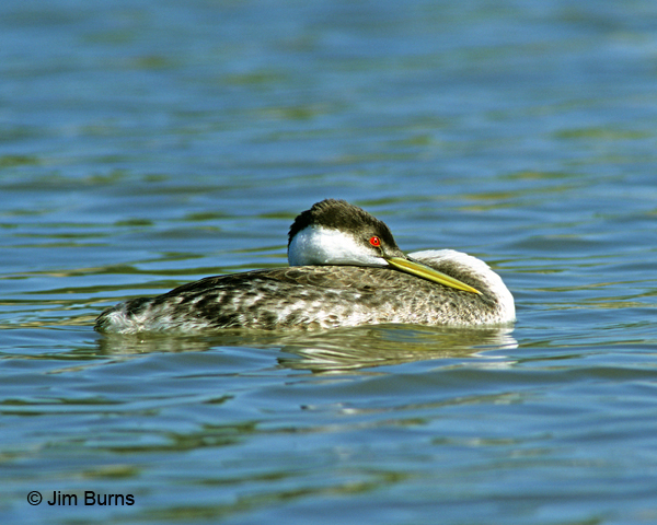 Western Grebe sleeping