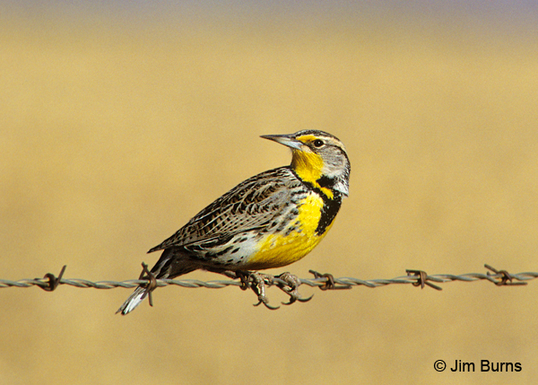 Western Meadowlark showing yellow malar