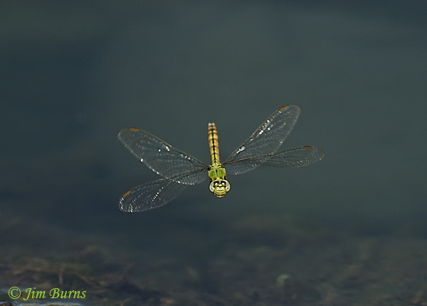 Western Pondhawk female in flight, Maricopa Co., AZ, October 2018--9695