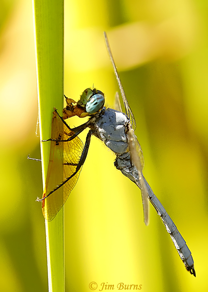 Western Pondhawk eating female Mexican Amberwing, Maricopa Co., AZ, September 2018--0681