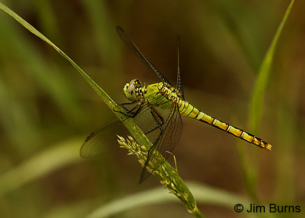 Western Pondhawk female, Pima Co., AZ, August 2018--8040
