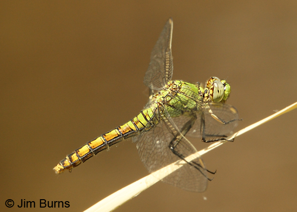 Western Pondhawk female, Maricopa co., AZ, May 2012
