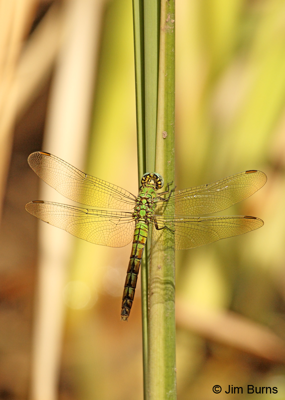 Western Pondhawk female, Maricopa Co., AZ, August 2011