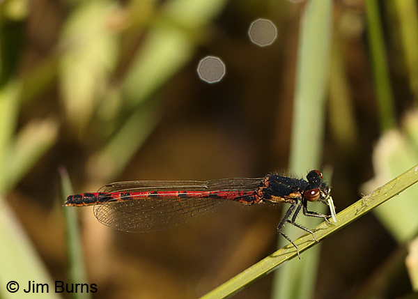 Western Red Damsel male eating small fly, Apache Co., AZ, May 2016