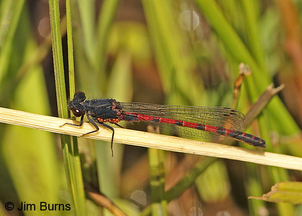 Western Red Damsel male with water mites, Apache Co., AZ, May 2016