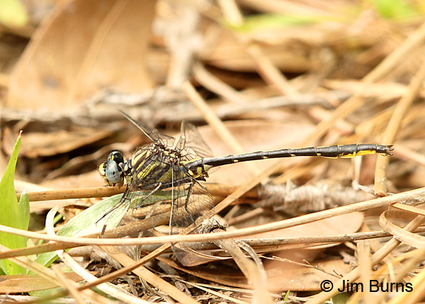 Westfall's Clubtail male on pine needles, Santa Rosa Co., FL, March 2017