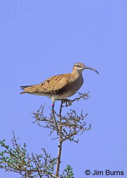 Leg-banded Whimbrel in tree