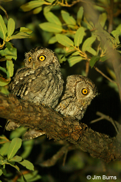 Whiskered Sreech-Owls
