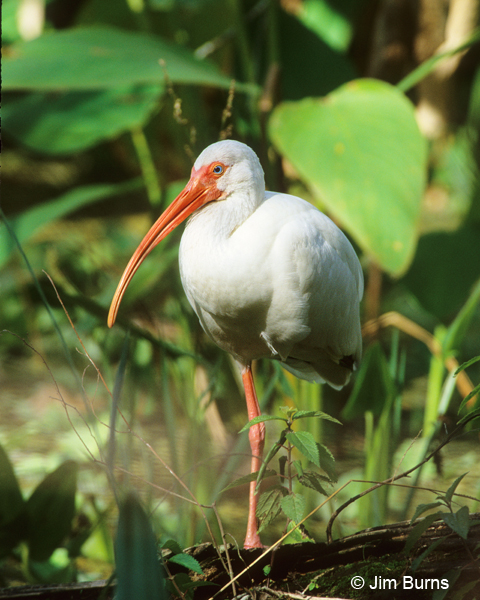 White Ibis at rest
