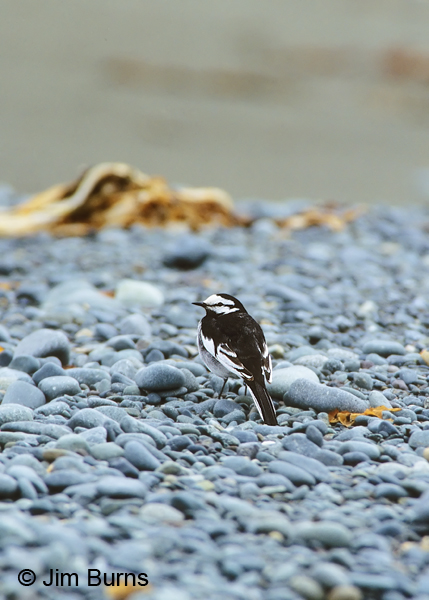 White Wagtail on beach