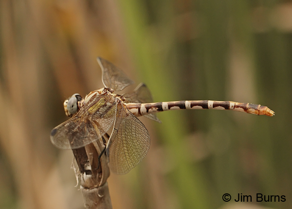 White-belted Ringtail female, Maricopa Co., AZ, August 2013