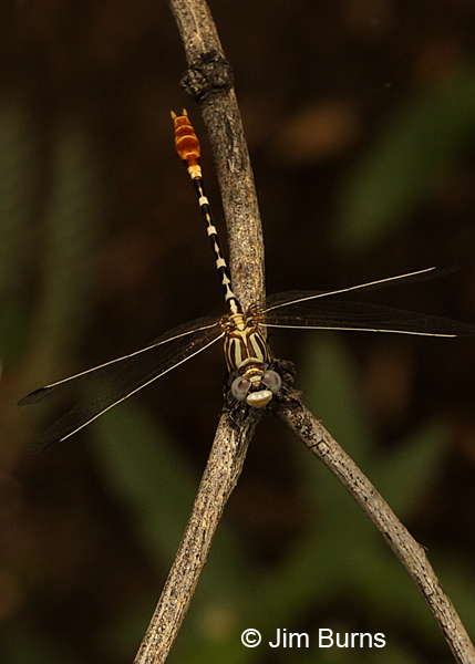 White-belted Ringtail male dorsal view, Pinal Co., AZ, September 2017