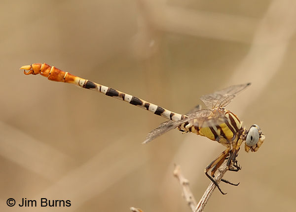 White-belted Ringtail male, Maricopa Co., AZ, August 2013